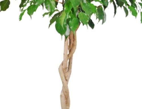De topper onder de kamerplanten, de Ficus